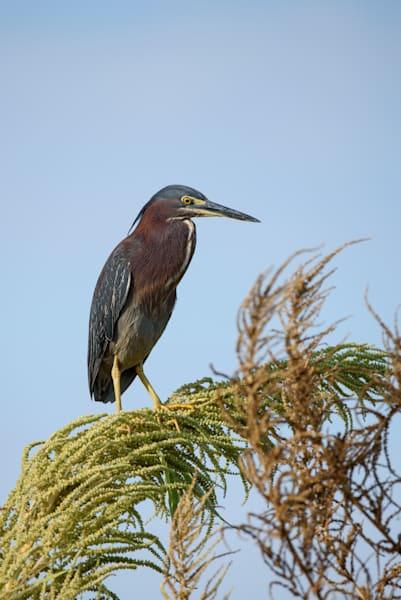 Green Heron Photography Art | Colin Hocking Photography