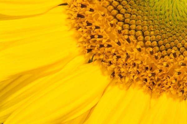 Sunny sunflowers closeup - shop fine-art notecards   Closer Views