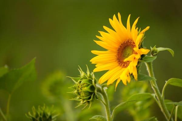 Early morning sunflowers - shop fine-art notecards | Closer Views