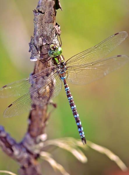 Resting Dragonfly - shop fine-art notecards | Closer Views