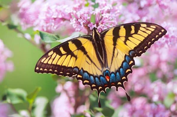 Tiger Swallowtail on Lilacs - shop fine-art notecards   Closer Views