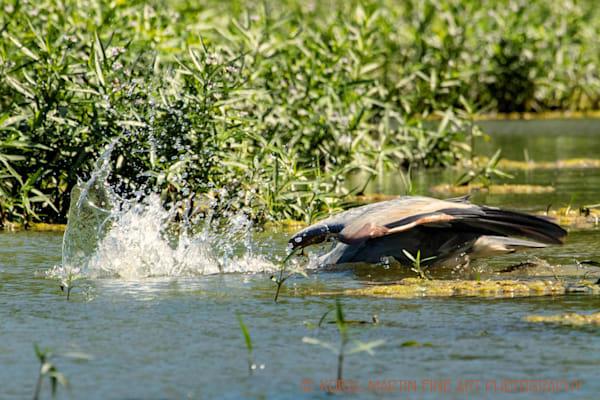 Blue Heron Diving Photograph 0856 LSM  | Wildlife Photography | Koral Martin Fine Art Photography