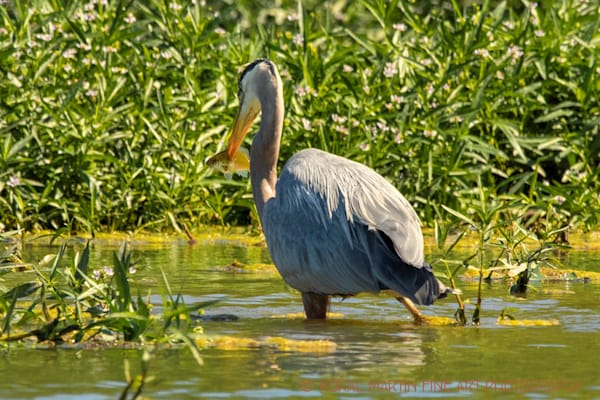Blue Heron Fish Spiked Photograph 0870  | Wildlife Photography | Koral Martin Fine Art Photography