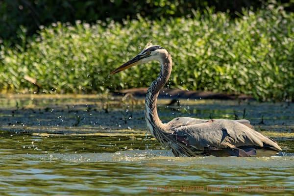 Blue Heron After Dive Splashes Photograph 0688  | Wildlife Photography | Koral Martin Fine Art Photography