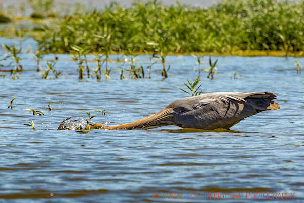Blue Heron Diving Photograph 0918 LSM  | Wildlife Photography | Koral Martin Fine Art Photography