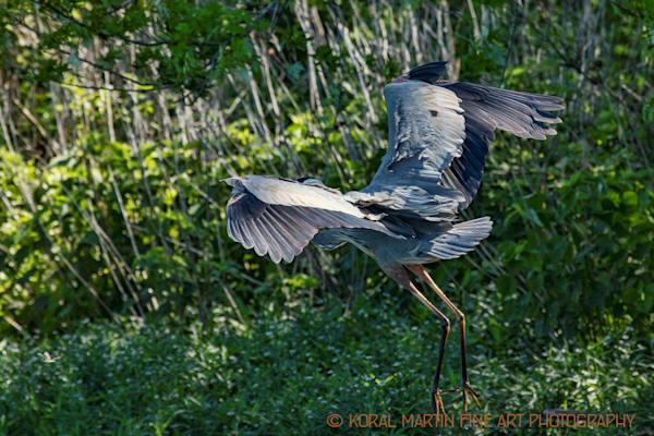Blue Heron Flying Photograph 0669 C LSM  | Wildlife Photography | Koral Martin Fine Art Photography