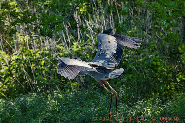 Blue Heron Flying Photograph 0669 LSM  | Wildlife Photography | Koral Martin Fine Art Photography