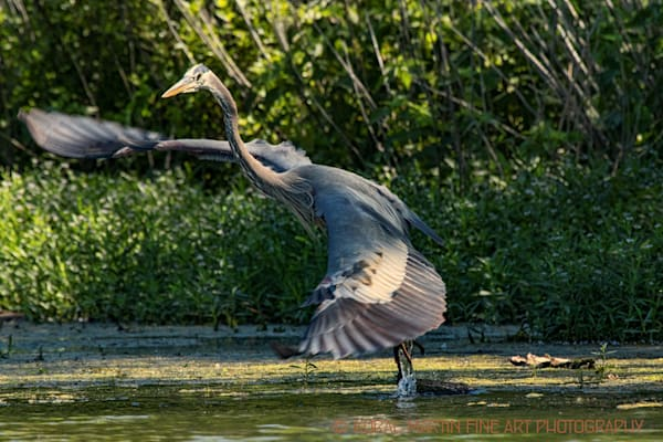 Blue Heron Flying Photograph 0686 LSM  | Wildlife Photography | Koral Martin Fine Art Photography