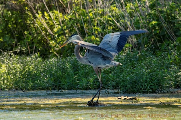 Blue Heron Landing Photograph 0671 LSM  | Wildlife Photography | Koral Martin Fine Art Photography