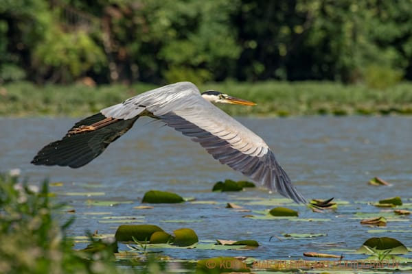 Blue Heron Flying Photograph 1163 C LSM Photograph 1  | Wildlife Photography | Koral Martin Fine Art Photography