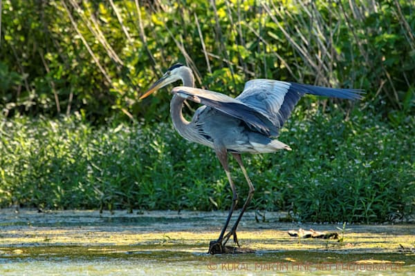 Blue Heron Landing Photograph 0672 LSM  | Wildlife Photography | Koral Martin Fine Art Photography