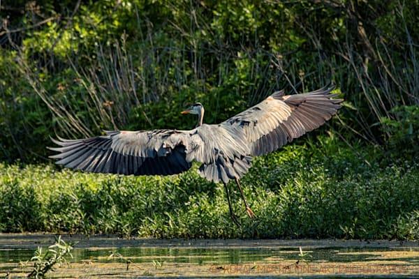 Heron Flying Photograph 0697 C  | Wildlife Photography | Koral Martin Fine Art Photography