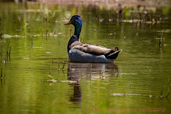Purple Blue Headed Mallard Photograph 1251  | Wildlife Photography | Koral Martin Fine Art Photography