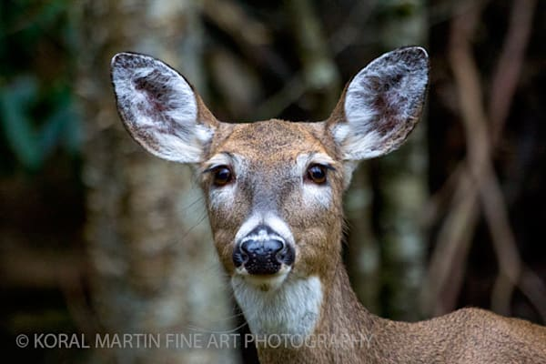 Deer Close Photograph 4897  | West Virginia and Virginia Photography | Koral Martin Fine Art Photography