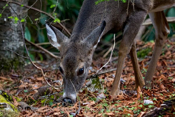 Deer eating Photograph 4859  | West Virginia and Virginia Photography | Koral Martin Fine Art Photography