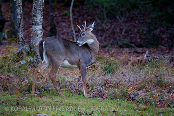 Small buck Deer Photograph 4339 BWF  | West Virginia and Virginia Photography | Koral Martin Fine Art Photography