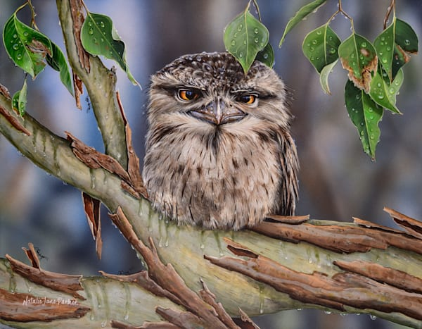 Unimpressed - Tawny Frogmouth | Acrylic on Clayboard Painting