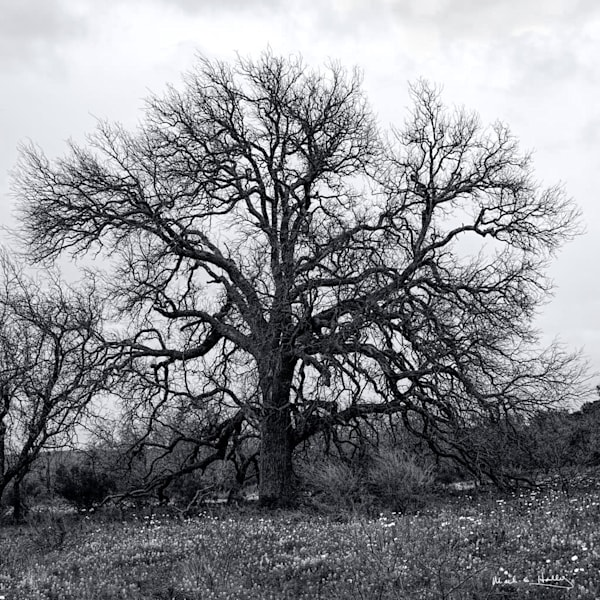 TX, hill-country, fall, black-and-white, limb, oak, art, tree, leave, photography