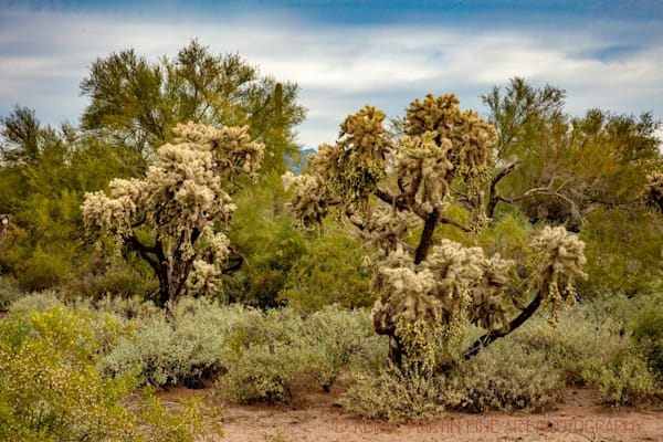 Apache Trail Joshua Tree Photograph 1887 AZ LF  | Arizona Photography | Koral Martin Fine Art Photography