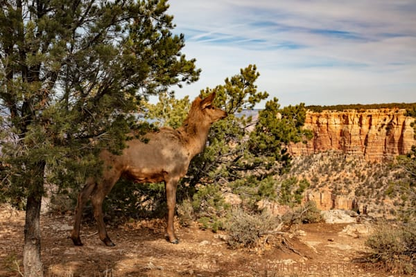 Grand Canyon Elk Photograph 3312 | Arizona Photography | Koral Martin Fine Art Photography