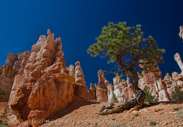 Bryce Canyon Tree Photograph 3609  | Utah Photography | Koral Martin Fine Art Photography