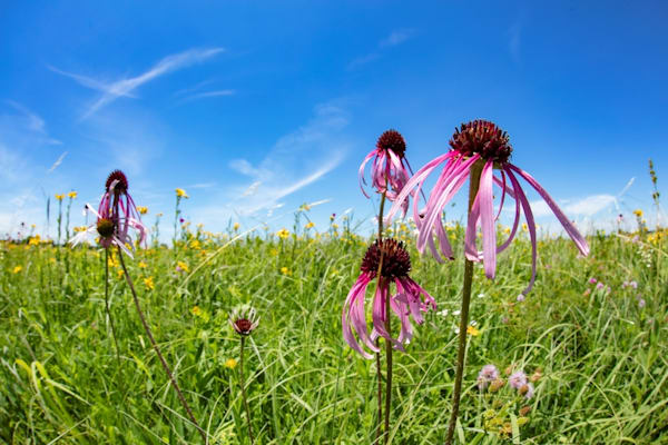 Coneflower 1051 Photograph | Wildflower  Photography |  Koral Martin Fine Art Photography