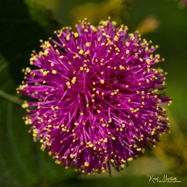 Sensitive Briar Photograph 0952   Wildflower Photography   Koral Martin Fine Art Photography