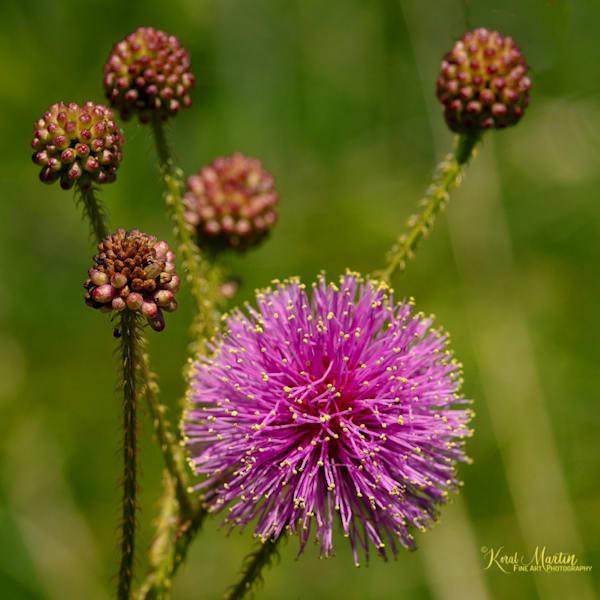 Sensitive Briar Photograph 0956 Square | Wildflower Photography | Koral Martin Fine Art Photography