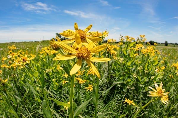 Yellow Crownbeard Wildflower Photograph 1061 | Wildflower Photography | Koral Martin Fine Art Photography
