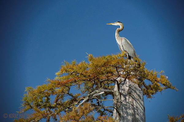 Blue Heron Photograph 0002 | Tennessee Photography | Koral Martin Fine Art Photography