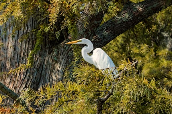 Cypress Egret Photograph 0602 C Reelfoot  | Tennessee Photography | Koral Martin Fine Art Photography