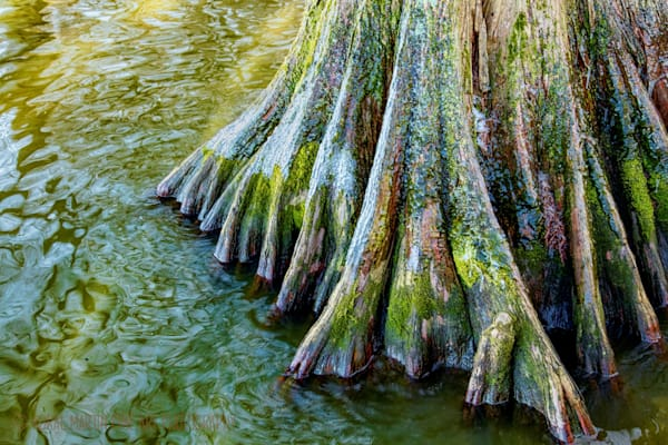 Colorful cypress with ice Photograph 9072 | Tennessee Photography | Koral Martin Fine Art Photography