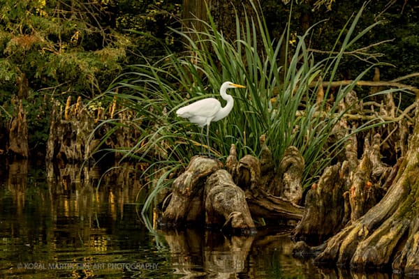 Cypress Egret Photograph 0237 C Reelfoot  | Tennessee Photography | Koral Martin Fine Art Photography