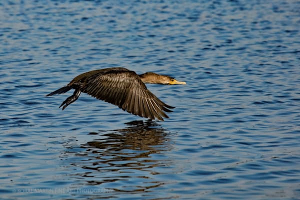 Cormorant 0480 C Reelfoot Lake TN    Photograph | Tennessee  Photography |  Koral Martin Fine Art Photography