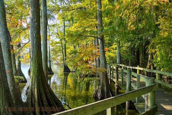 Cypress Trees Photograph 92410 | Tennessee Photography | Koral Martin Fine Art Photography