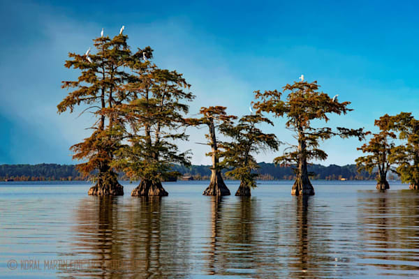 Cypress with Birds Photograph 89320 | Tennessee Photography | Koral Martin Fine Art Photography