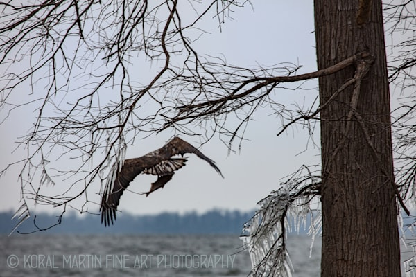 Eagle Photograph 9107  | Tennessee Photography | Koral Martin Fine Art Photography
