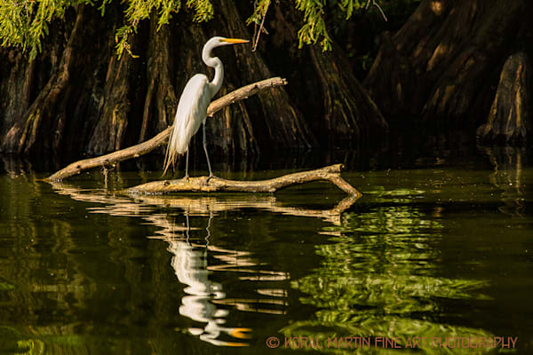 Egret on Limb Photograph 0548 LF  | Tennessee Photography | Koral Martin Fine Art Photography