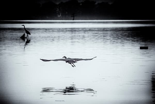 Egret Flying Photograph 0148 | Tennessee Photography | Koral Martin Fine Art Photography