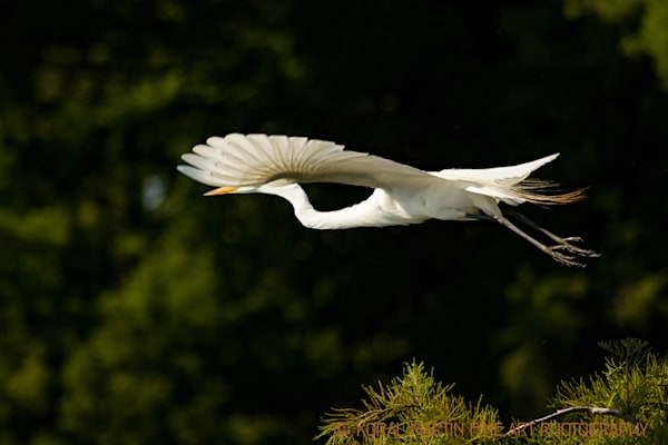 Flying Egret Photograph 0507 | Tennessee Photography | Koral Martin Fine Art Photography