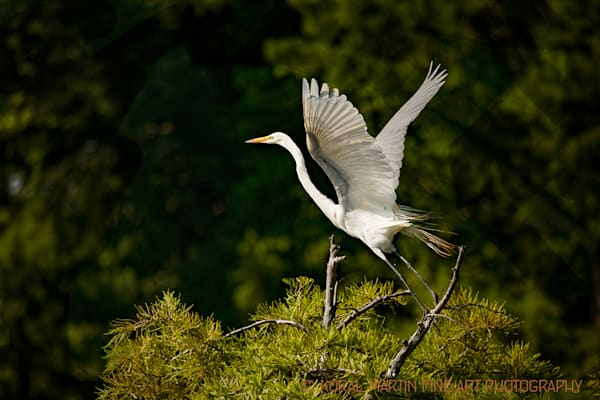 Egret Taking Flight Photograph 0506 LF  | Tennessee Photography | Koral Martin Fine Art Photography