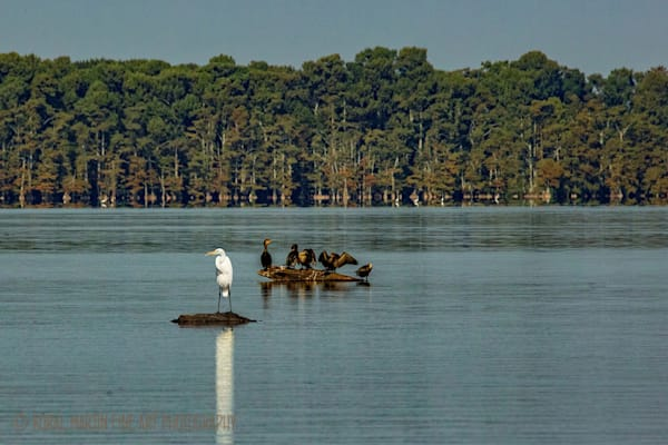Egret and cormorant Photograph 0326 | Tennessee Photography | Koral Martin Fine Art Photography