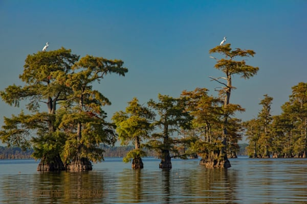 Egrets in Cypress Tree Top Photograph 89490 | Tennessee Photography | Koral Martin Fine Art Photography