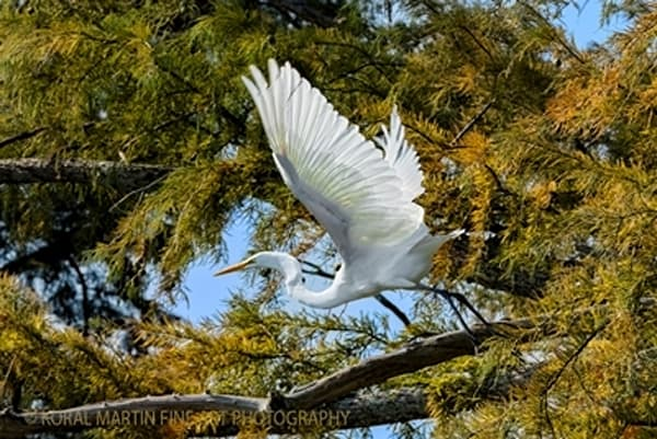 Egret Taking Flight Photograph 0611  | Tennessee Photography | Koral Martin Fine Art Photography