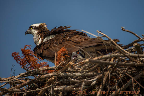 Osprey and chicks 0774  Photograph | Tennessee  Photography |  Koral Martin Fine Art Photography