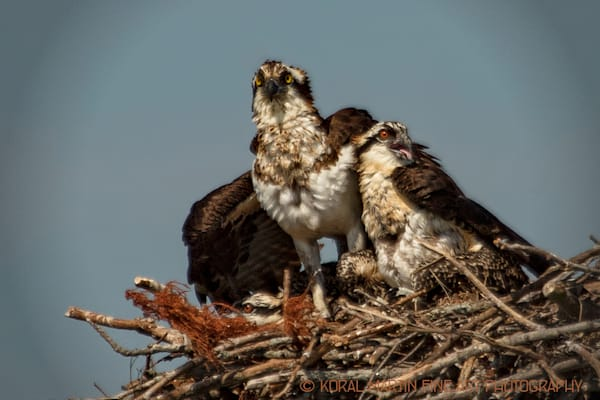 Osprey and chicks Photograph 0801 | Tennessee Photography | Koral Martin Fine Art Photography