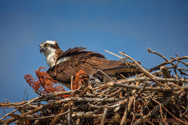 Osprey Baby 0773  Photograph | Tennessee  Photography |  Koral Martin Fine Art Photography