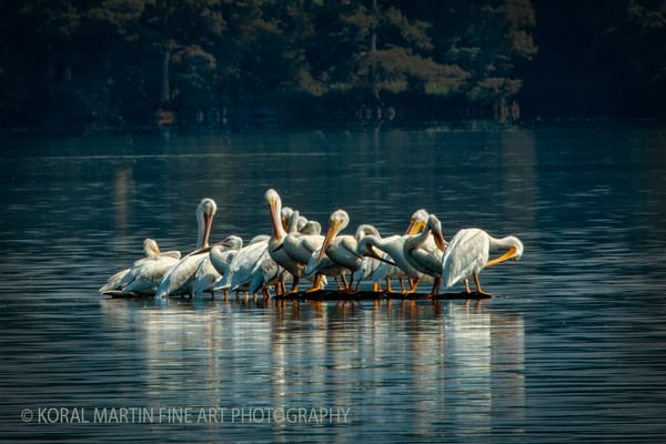Pelicans9340  | Tennessee Photography | Koral Martin Fine Art Photography