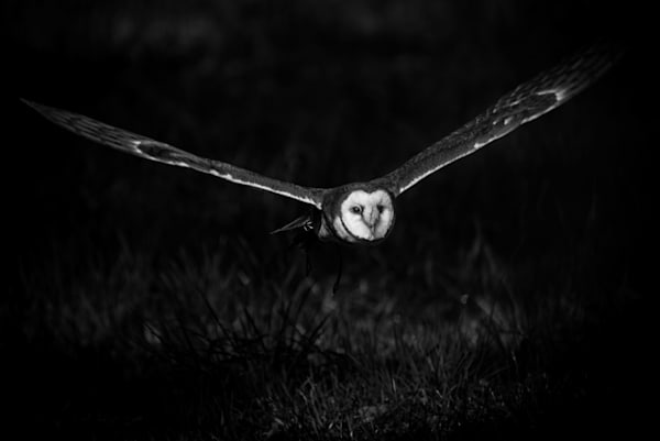 Barn Owl Photography Art | Colin Hocking Photography