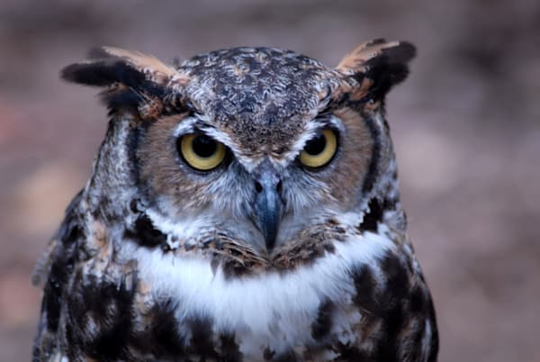 Great Horned Owl Photography Art | Colin Hocking Photography